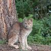 Canadian Lynx 2
