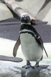 Penguin regardant