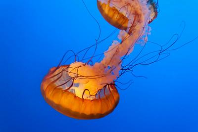 Glowing Jellyfish