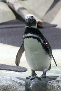 Penguin gardant