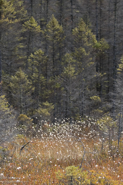 Hare's-tail cottongrass, Moose Bog, Vermont