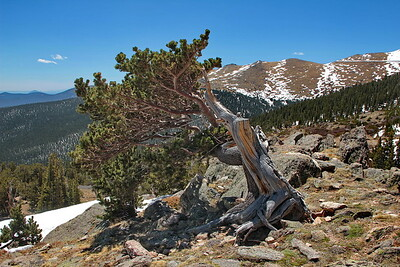 Bristlecone Pine (Pinus aristata) at ~ 12,000 feet