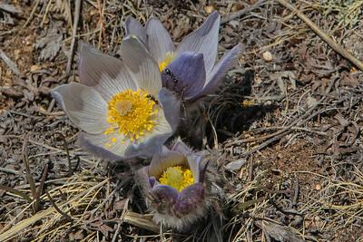 Ants tending Pasque Flowers
