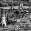 Tree stumps near Alder Lake