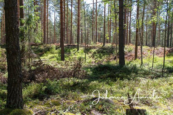 Muinaisen Ancylusjärven rantadyynit Koski Tl