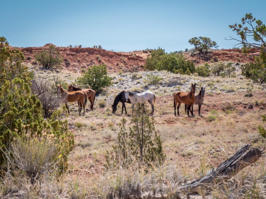 WILD HORSES NEAR ALBUQUERQUE