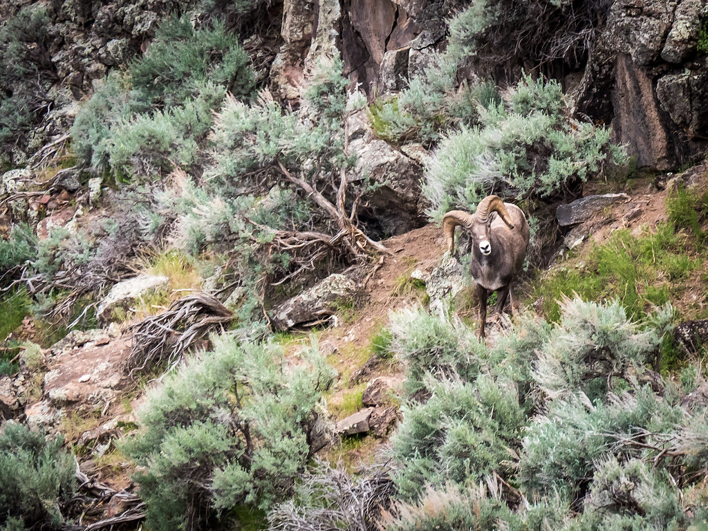 BIG HORN SHEEP AT RIO GRANDE GORGE