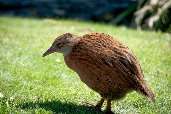 Weka,  New Zealand bird