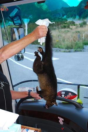 New Zealand possum, roadkill