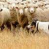 Merhts herding sheep