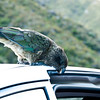 Kea eating the insulation off a car door frame