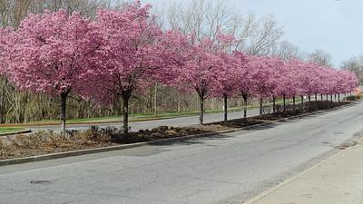 Staten Island Sakura