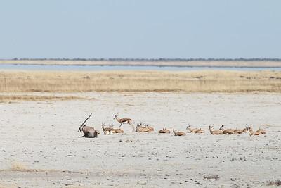Springbok - Antidorcas marsupialis Etosha NP, Namibia