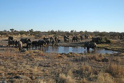 Éléphant de savane d'Afrique - Loxodonta africana - African Elephant