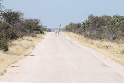 Girafe - Giraffa camelopardalis - Giraffe Etosha NP, Namibia
