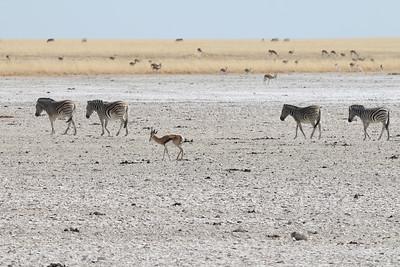 Springbok - Antidorcas marsupialis Zèbre des plaines - Equus quagga - Plains Zebra Etosha NP, Namibia