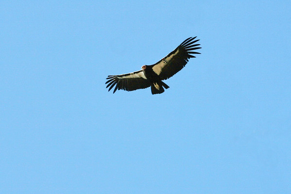 California Condor #23; wing span of 8 feet; Grand Canyon, AZ