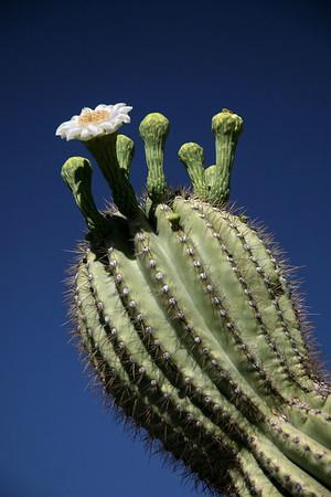 Saguaro National Park; Tucson, Arizona