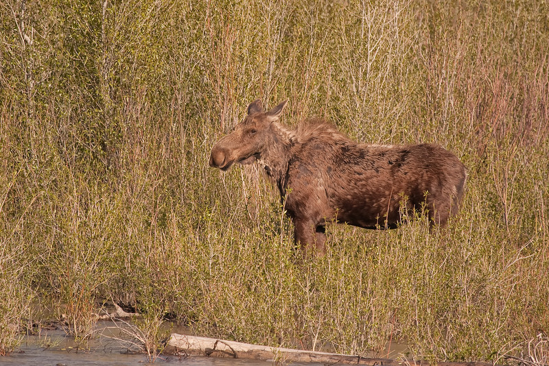 Moose along the Gros Ventre River