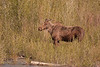 Moose along the Gros Ventre River