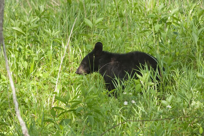 Bear cub in Cades Cove