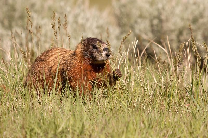 Yellow-bellied Marmot Grazing