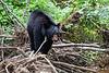 Black bear along creek in Cades Cove