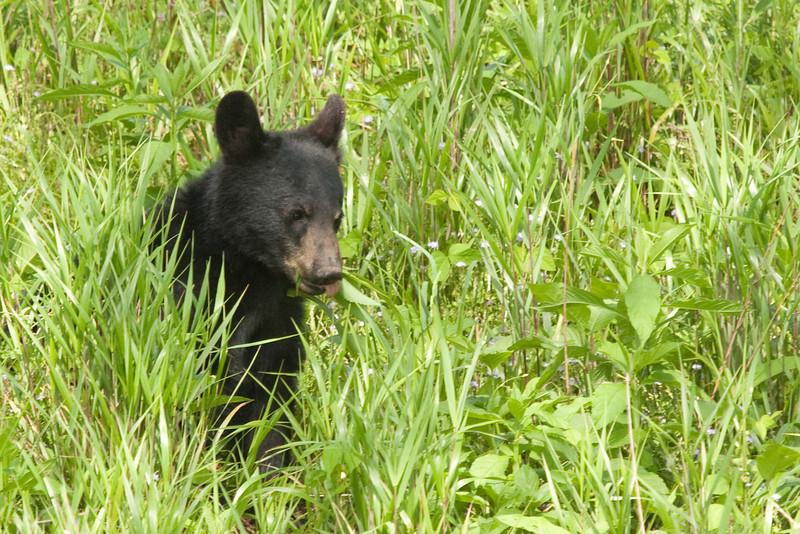 Bear cub in Cades Cove 2