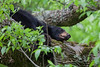 Sleeping black bear in Cades Cove