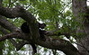 Black bear asleep in tree in Cades Cove