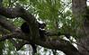 Black bear asleep in tree in Cades Cove