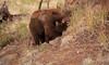 Cinammon Bear