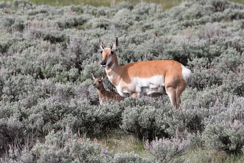 Pronghorn and Baby