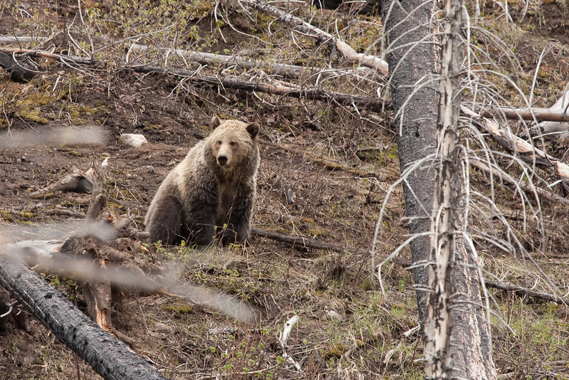 Young grizzly bear along Sedge Bay 14