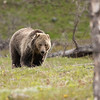 Young grizzly bear along Sedge Bay 11