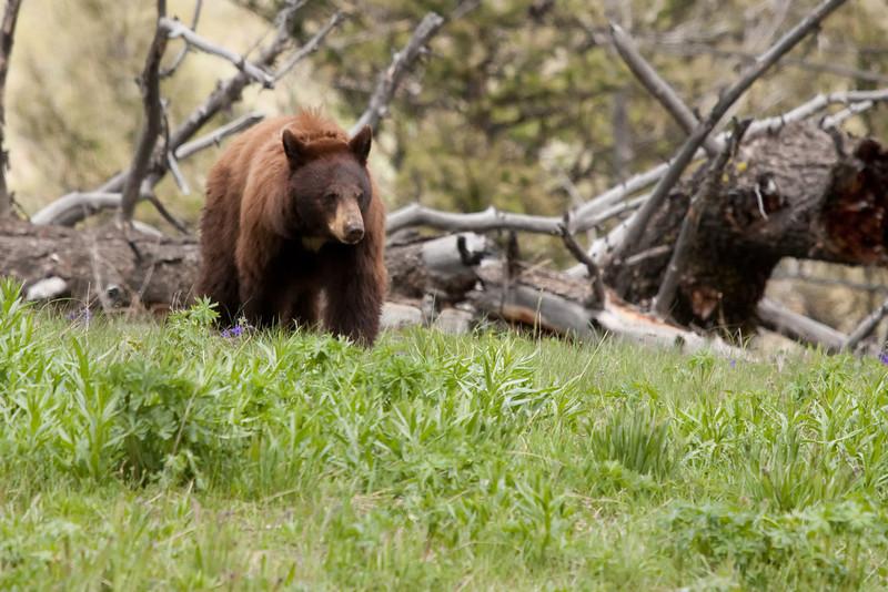 Cinammon black bear near Blacktail Plateau picnic area 2