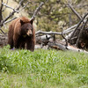 Cinammon black bear near Blacktail Plateau picnic area 2