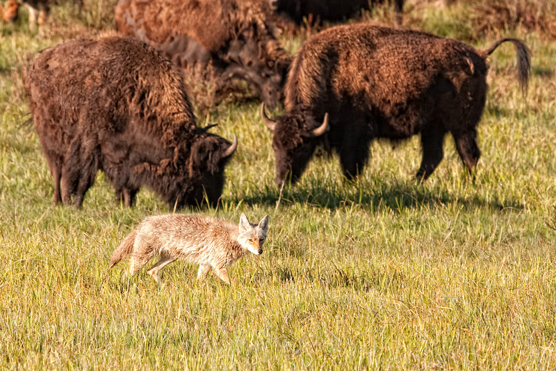 Coyote among a buffalo herd near Deer Creek