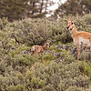 Newborn pronghorn calf with mom 6
