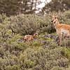 Newborn pronghorn calf with mom 6