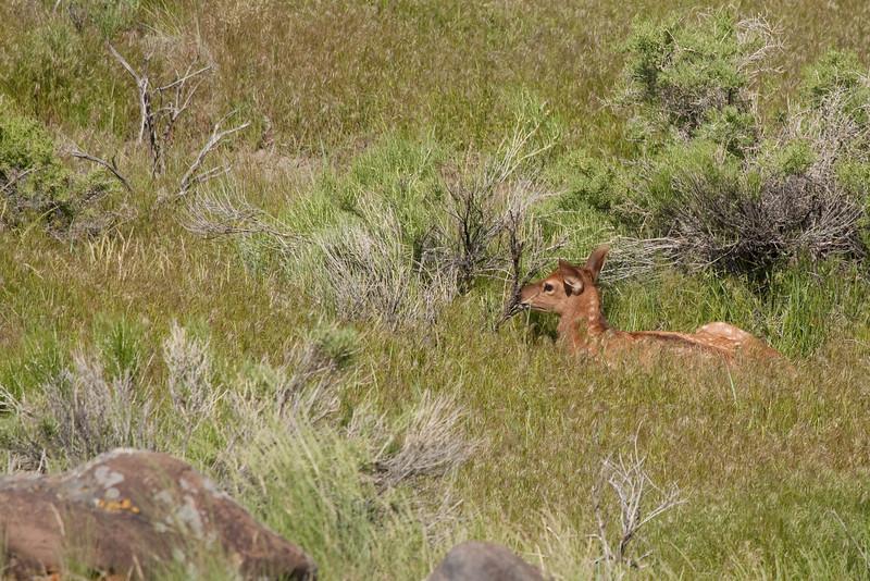 Newborn elk calf near Yellowstone River at Gardiner 2