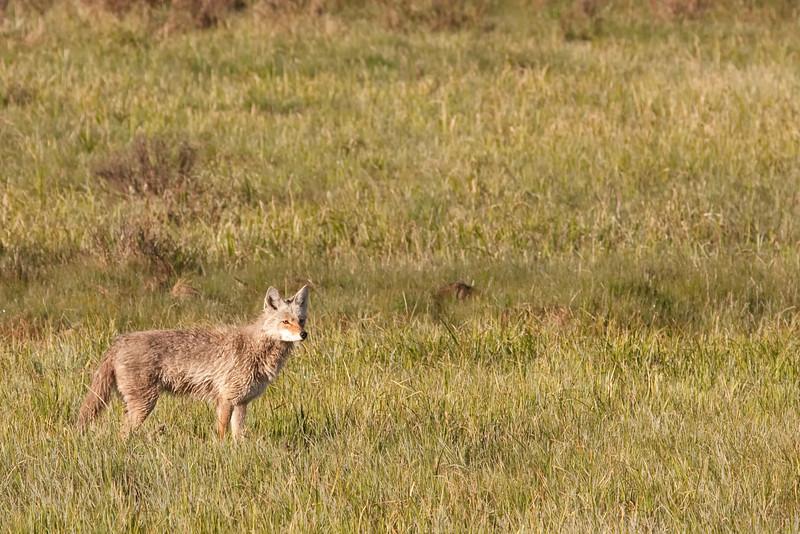 Coyote near Deer Creek 1