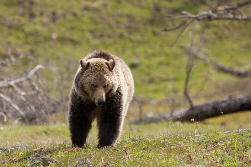 Young grizzly bear along Sedge Bay 15