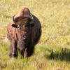 Bison checking out the coyote near Deer Creek