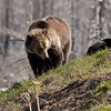 Young grizzly bear along Sedge Bay 3