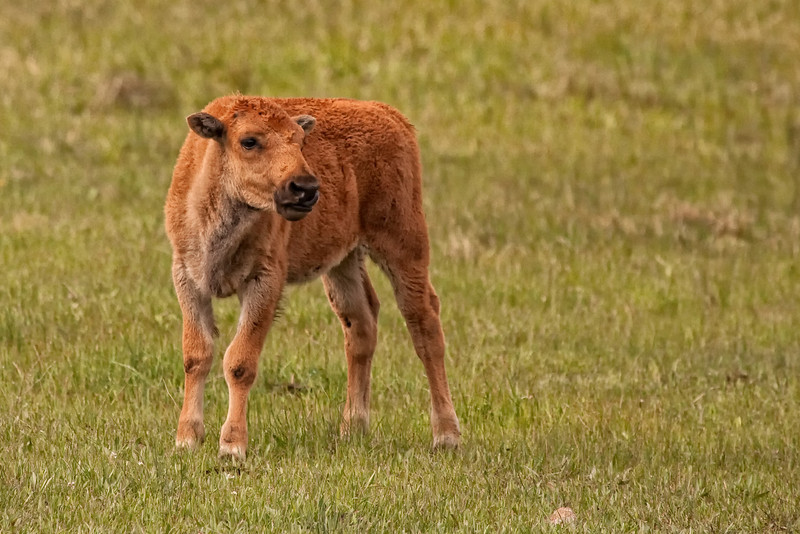 New born bison calf near Deer Creek