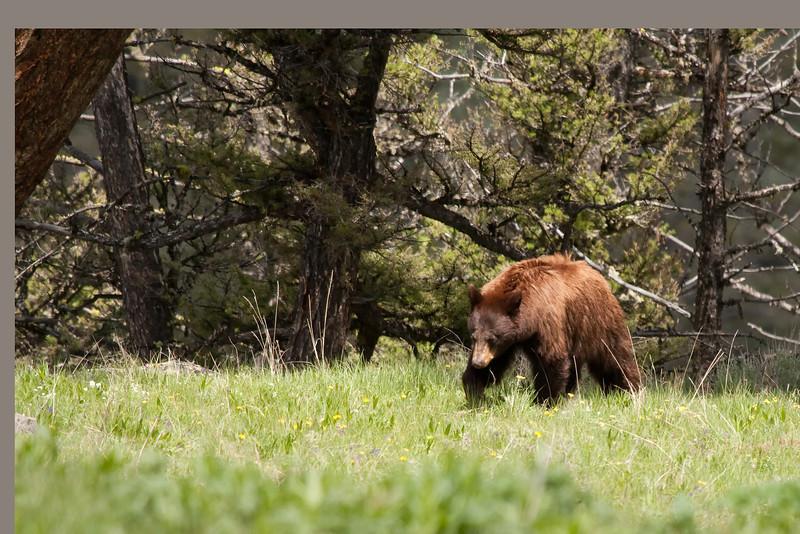 Cinammon black bear near Blacktail Plateau picnic area 1