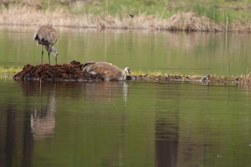 Sandhill cranes on Floating Island Lake 2