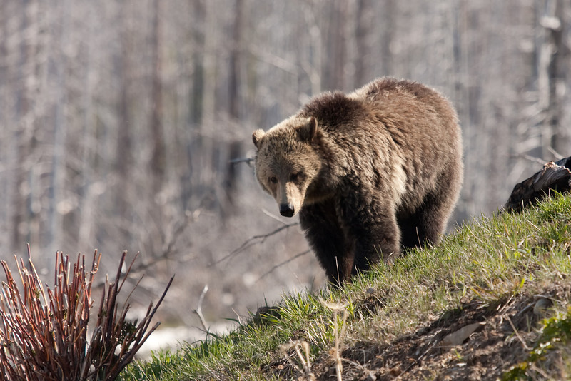 Young grizzly bear along Sedge Bay 2