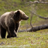 Young grizzly bear along Sedge Bay 16
